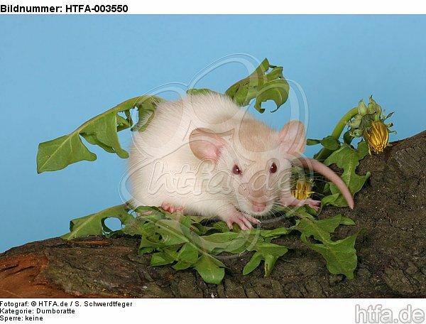 Dumboratte / rat / HTFA-003550