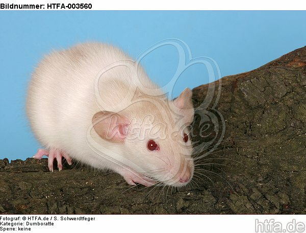 Dumboratte / rat / HTFA-003560