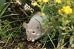 Dumboratte / rat