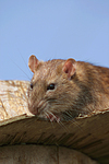 Farbratte / rat