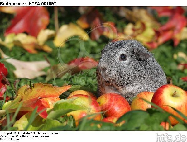 Glatthaarmeerschwein / guninea pig / HTFA-001897
