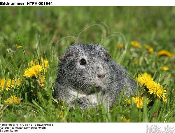 Glatthaarmeerschwein / guninea pig / HTFA-001944