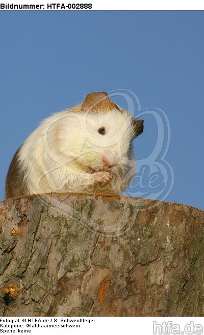 Glatthaarmeerschwein / smooth-haired guninea pig / HTFA-002888
