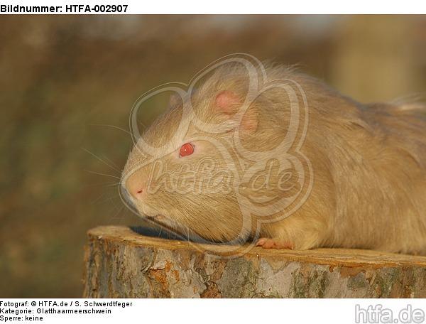 Glatthaarmeerschwein / smooth-haired guninea pig / HTFA-002907