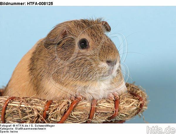 Glatthaarmeerschwein / smooth-haired guninea pig / HTFA-008125