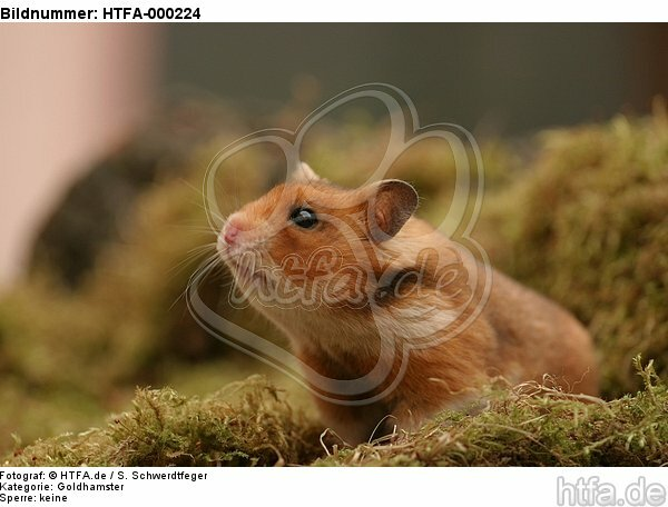 neugieriger Goldhamster / curious golden hamster / HTFA-000224