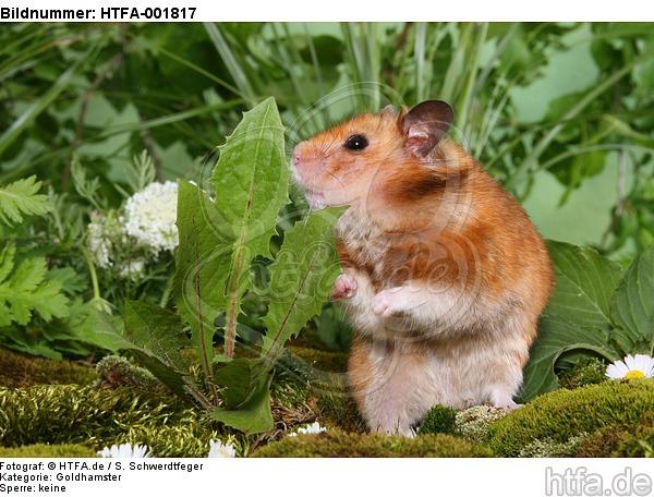 Goldhamster / golden hamster / HTFA-001817
