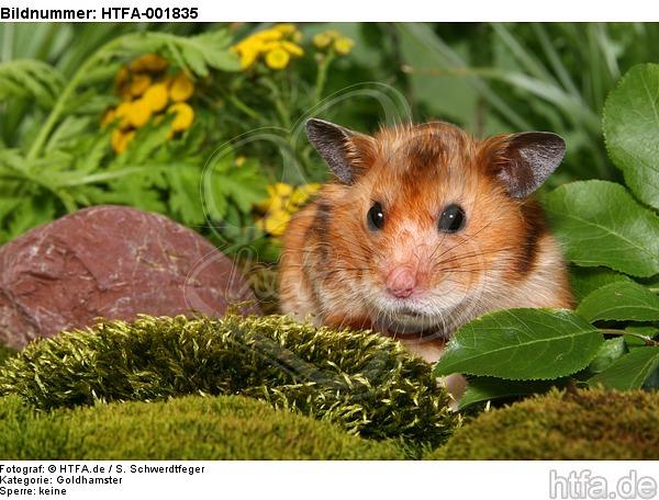 Goldhamster / golden hamster / HTFA-001835