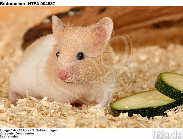 Goldhamster / golden hamster / HTFA-004837