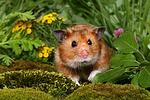Goldhamster / golden hamster