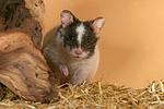 Pandahamster / hamster