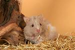 Teddyhamster / hamster
