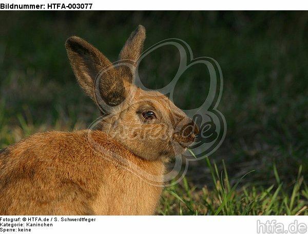 Kaninchen / bunny / HTFA-003077