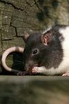 fressende Farbratte / eating rat