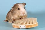 Satinmeerschwein / guninea pig