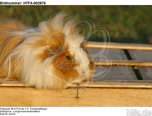 Langhaarmeerschwein / long-haired guninea pig / HTFA-002876