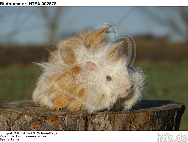 Langhaarmeerschwein / long-haired guninea pig / HTFA-002878