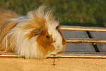 Langhaarmeerschwein / long-haired guninea pig