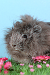 Peruanermeerschwein / guninea pig