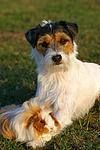 Parson Russell Terrier und Peruanermeerschwein / prt and guninea pig