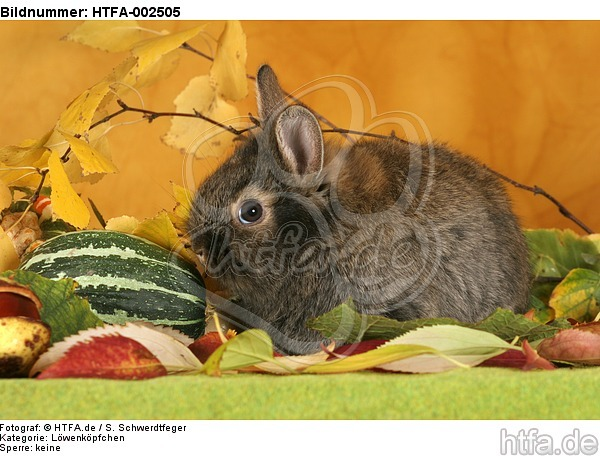 L�wenk�pfchen / lion-headed bunny / HTFA-002505