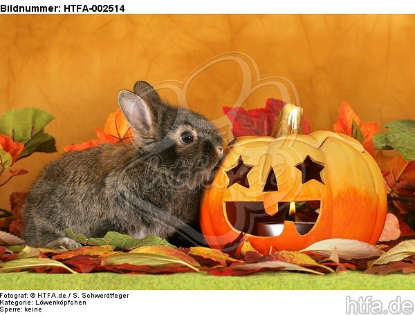 L�wenk�pfchen / lion-headed bunny / HTFA-002514