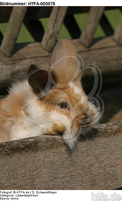 L�wenk�pfchen / lion-headed bunny / HTFA-003075
