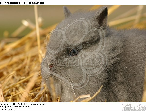 L�wenk�pfchen / lion-headed bunny / HTFA-003198