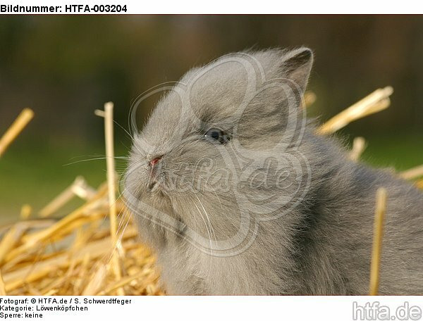 L�wenk�pfchen / lion-headed bunny / HTFA-003204