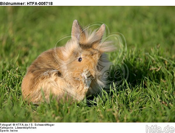 junges L�wenk�pfchen / young lion-headed rabbit / HTFA-005718