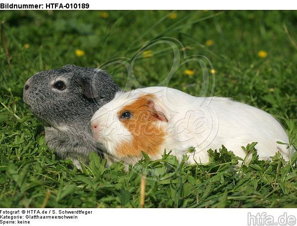 Glatthaarmeerschwein und Schopfmeerschwein / 2 guninea pigs / HTFA-010189