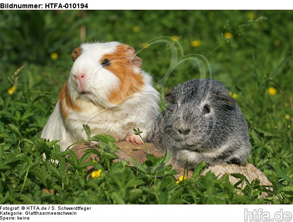 Glatthaarmeerschwein und Schopfmeerschwein / 2 guninea pigs / HTFA-010194