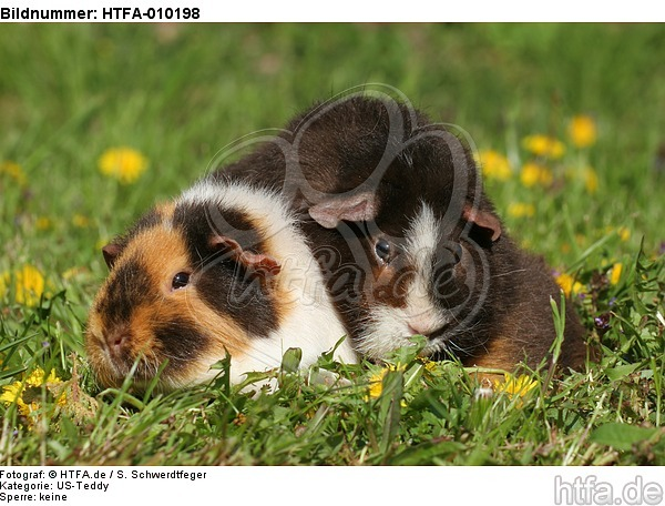 US-Teddy Meerschweine / US-Teddy guninea pigs / HTFA-010198