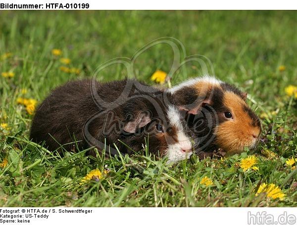 US-Teddy Meerschweine / US-Teddy guninea pigs / HTFA-010199
