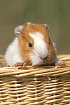 junges Glatthaarmeerschwein / young smooth-haired guninea pig