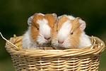 2 junge Glatthaarmeerschweine / 2 young smooth-haired guninea pigs