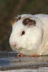 Glatthaarmeerschwein / smooth-haired guninea pig