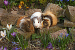 3 Meerschweine / 3 guninea pigs