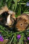2 Sheltiemeerschwein / 2 guninea pig