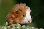 junges Sheltiemeerschwein / young guninea pig