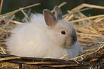 Angorakaninchen / bunny