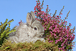 junges Angorakaninchen / young rabbit