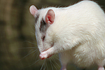 Farbratte putzt sich / rat is preenig herself