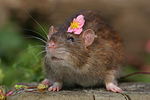 Farbratte mit Blume / rat with flower