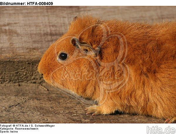 Rexmeerschwein / guninea pig / HTFA-008409