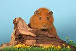 Rexmeerschwein / guninea pig