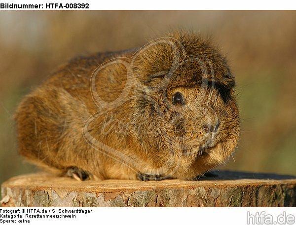 Rosettenmeerschwein / guninea pig / HTFA-008392