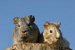 Meerschweinchen / guninea pigs