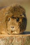 Rosettenmeerschwein / guninea pig