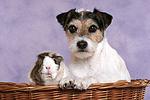 Parson Russell Terrier und Meerschwein / dog and guninea pig